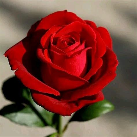 921 best red roses images on pinterest flower power