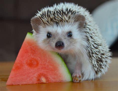 Heat L For Hedgehog hedgehogs