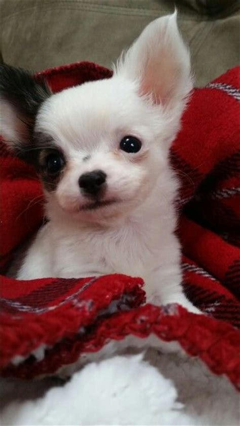 baby chihuahua puppies 176 best images about chihuahua dogs on