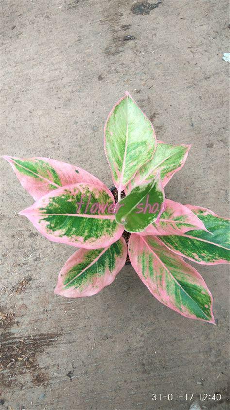 jual tanaman hias daun aglaonema siam pink  lapak flower