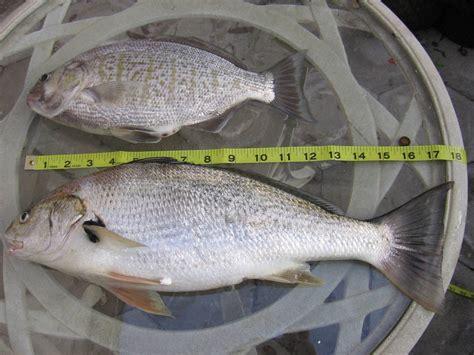 fishing boat bdo recipe big spotfin croaker bloodydecks