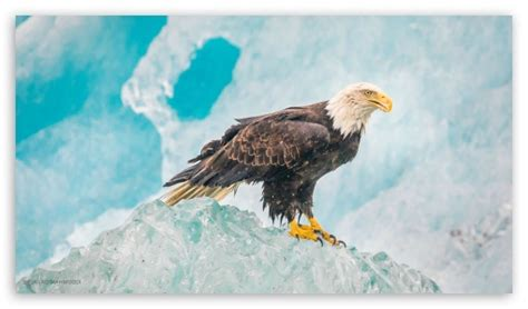 eagle  hd desktop wallpaper   ultra hd tv tablet