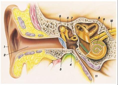 anatomie de l oreille humaine akustika