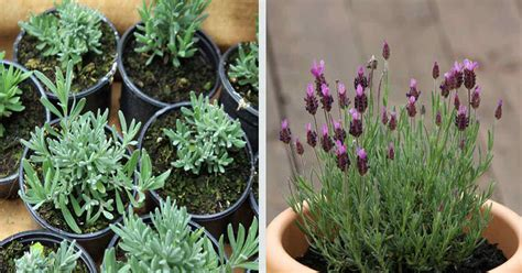 growing lavender indoors to feel relaxed every time you come home