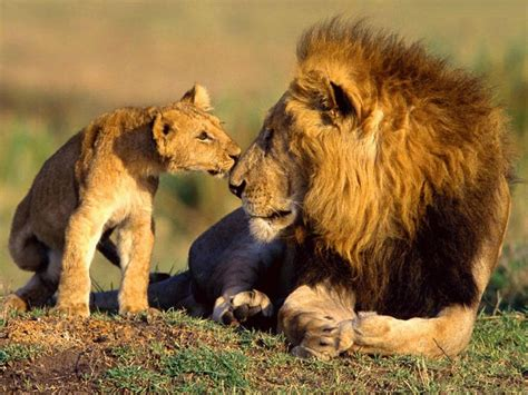 wallpaper anak singa wildlife of the world african lions facts and photos 2012