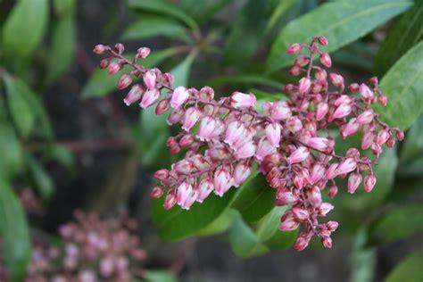 pieris japonica valley pieris japonica valley plants direct bc