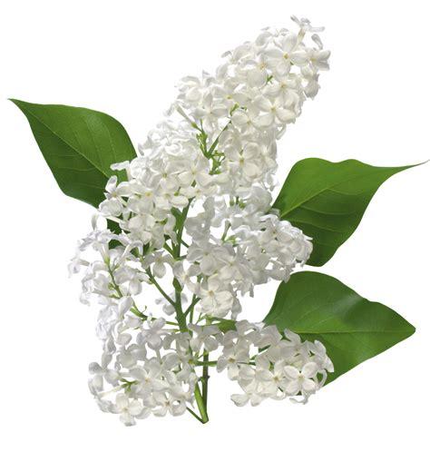 rosas rojas png fondos de pantalla y mucho m 225 s flores blancas y lilas png fondos de pantalla y mucho m 225 s