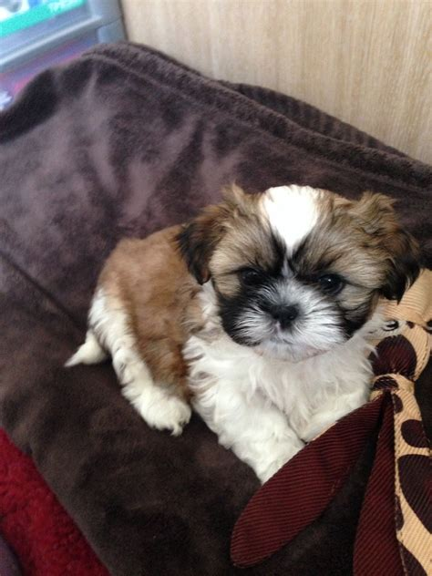 shih tzu puppies white and gold gold and white shih tzu puppies kettering northtonshire pets4homes