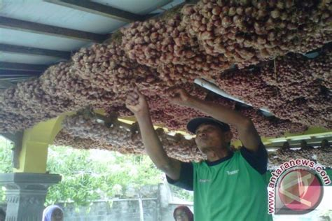 petani bantul simpan panen bawang untuk benih antara