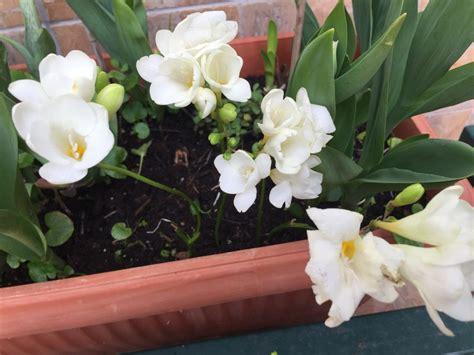 fiori fresie fresie coltivazione e cure