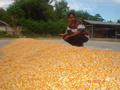 Supplier Jagung Pakan Ternak pusat jagung indonesia grosir jagung jual jagung