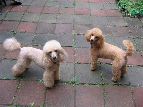 poodle lifespan miniature poodle weight of poodle sizes photo