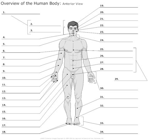 Anatomy And Physiology Regions Worksheet by Unlabelled Diagram Of The Free Clip