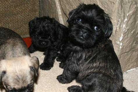 pugapoo puppies pics for gt pugapoo