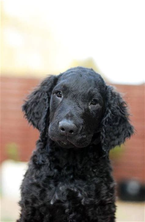 curly coated retriever puppies for sale curly coated retriever puppies in louth lincolnshire