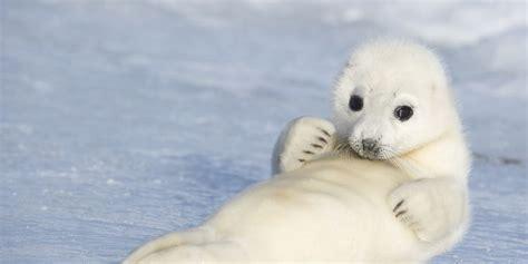 imagenes de focas blancas foca da groenl 226 ndia caracter 237 sticas h 225 bitos e