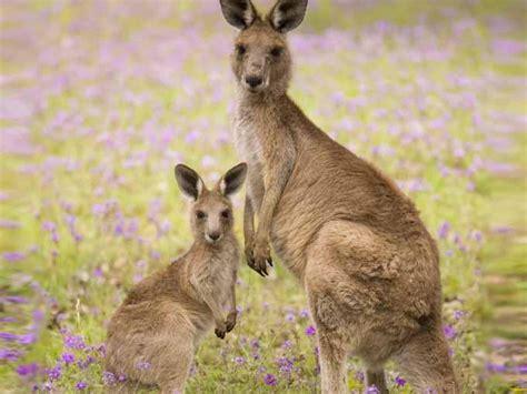 imagenes del canguro jack 191 cu 225 ndo dura el embarazo de la hembra canguro
