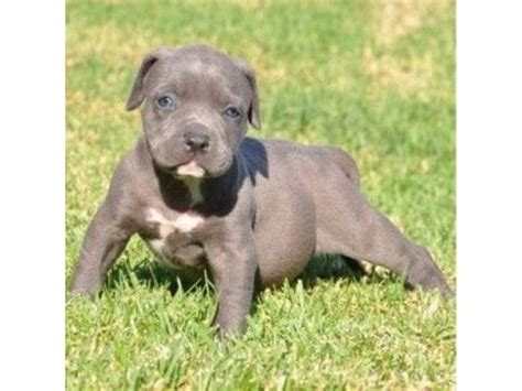 pitbull puppies for free best 25 blue nose pitbull puppies ideas on blue pits blue pit puppies
