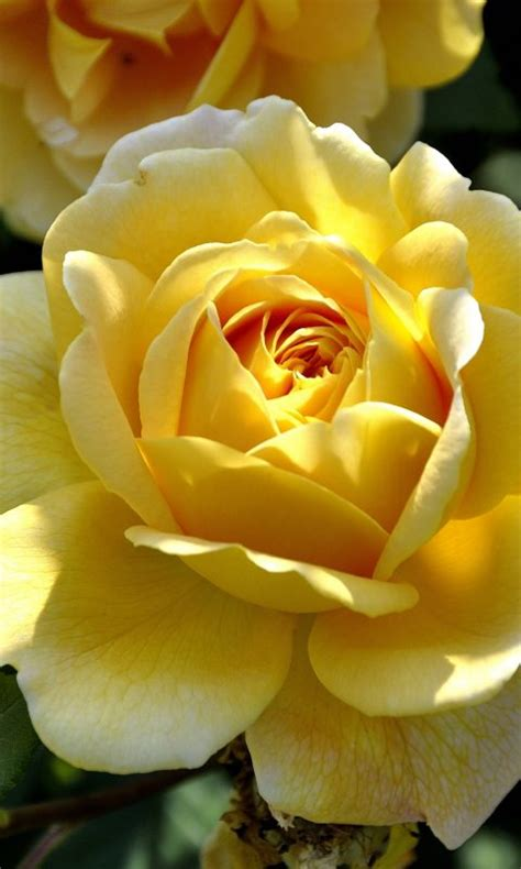 yellow rose  wallpaper hd wallpaper background
