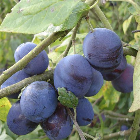 damson fruit trees plum damson merryweather tree