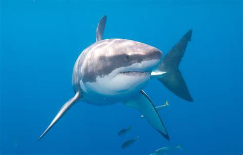 imagenes de lutos blancos tibur 243 n blanco carcharodon carcharias