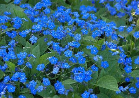 blaue stauden winterhart omphalodes verna das waldgedenkemein blaue bl 252 te