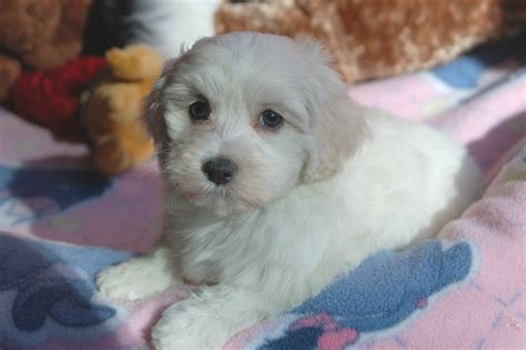 havanese puppies black and white havanese puppies newhairstylesformen2014