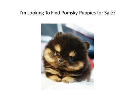 buy pomsky puppies about pomsky puppies for sale