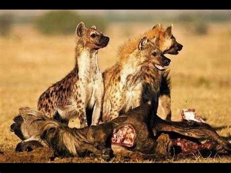 imagenes de leones vs hienas hienas devorando a 209 u youtube
