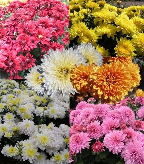 1000 images about chrysanthemums on pinterest fall