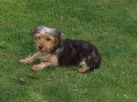 4 month yorkie 4 month yorkie puppies 4 month terrier leeds west 4