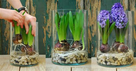 Caring For Flowers In A Vase Image Gallery Hyacinth Bulbs After Flowering