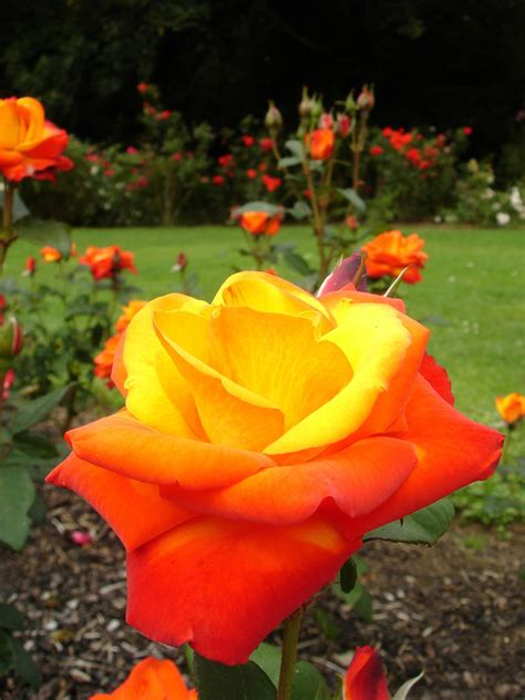 garden therapy roses  love