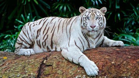 imagenes tigre blanco bengala tigre blanco caracter 237 sticas h 225 bitat alimentaci 243 n