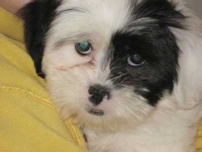 coton de tulear shih tzu mix coton tzu breed information and pictures