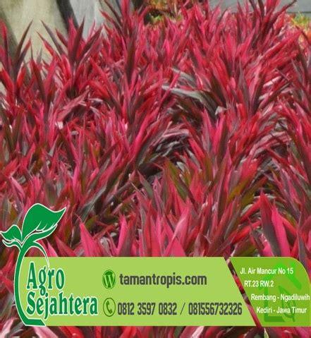 Bibit Bunga Matahari Merah jual tanaman hias bunga andong merah