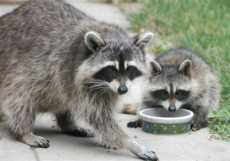 raccoon images raccoon facts pictures diet habitat as pets and