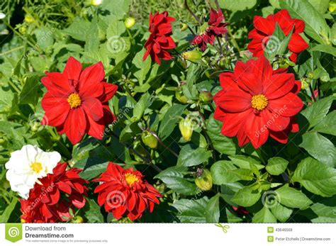 dandy flowers dahlia dandy stock photo image 43646569