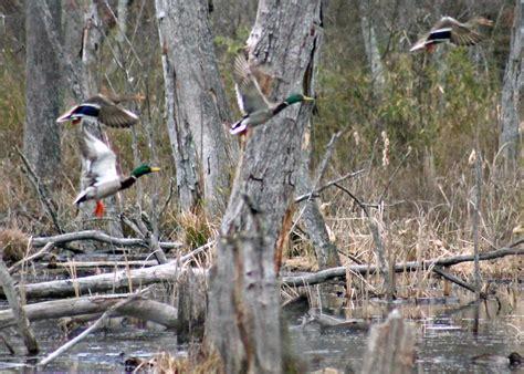 duck hunting boat essentials mallards landing in timber www pixshark images