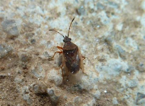 vas regione lombardia lygaeidae kleidocerys resedae della lombardia va