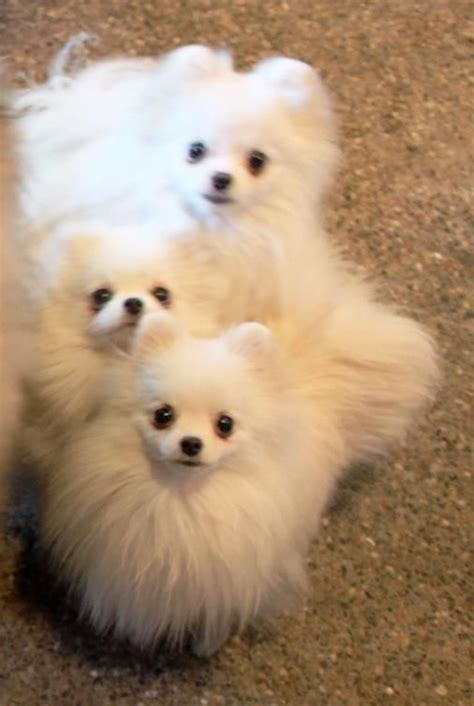 snowball pomeranian 36 best images about pomeranians