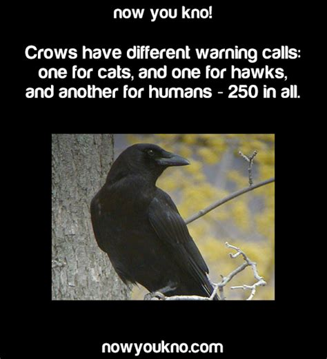 fact crows crow nowyoukno crow facts nowyoukno