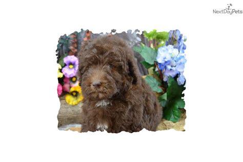 aussiedoodle puppies for sale near me aussiedoodle puppy for sale near southern illinois illinois 71e8e8a2 ce01