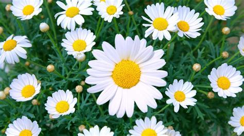 daisy flower what is the meaning behind daisy flowers reference com