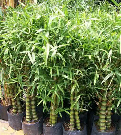 Pohon Bambu Dracena Golden Pohon Dracena Pohon Brasena Golden tukang taman pohon tanaman hias jasa pembuatan taman murah