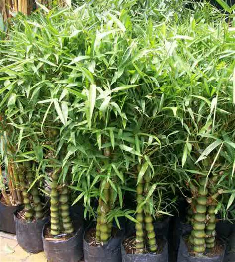 Lu Hias Tempel Dari Bambu 1 tukang taman pohon tanaman hias jasa pembuatan taman murah
