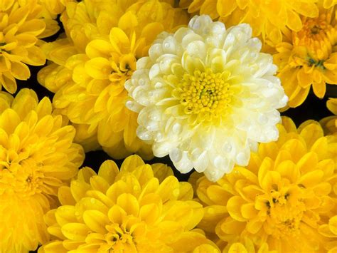 flowers photos wallpapers marigold flowers wallpapers