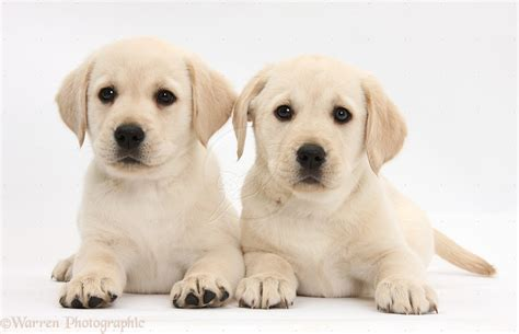 yellow lab puppies computer yellow labrador puppies wallpapers desktop backgrounds 1920x1200 id