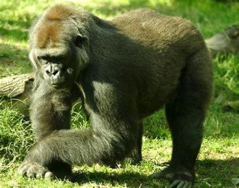 gorilla troglodytes gorilla animals   animals