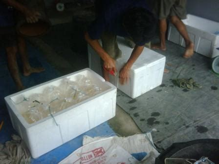 Bibit Ikan Gurame Balikpapan telor bibit gurame murah budidaya ikan air tawar